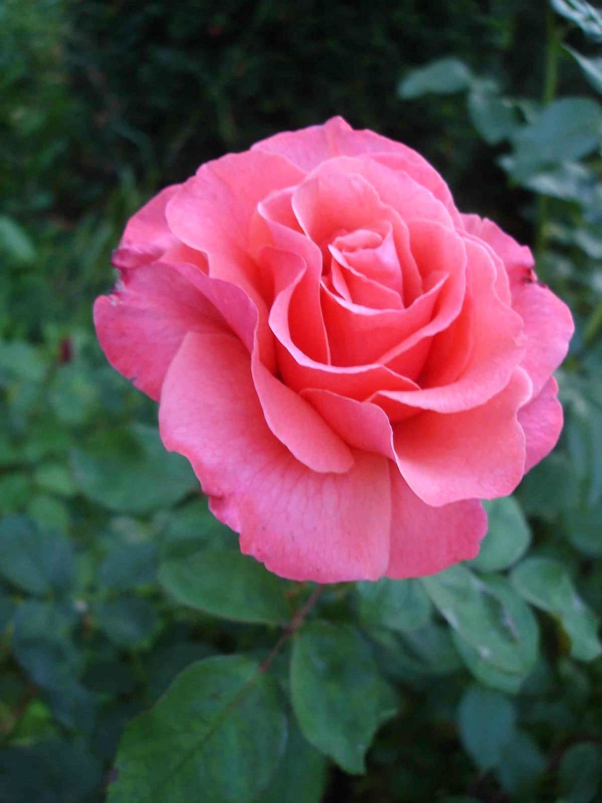 The gallery for --> Beautiful Single Red Rose Most Beautiful Single Red Rose
